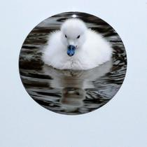 Baby Swan (Cygnet) Pocket Mirror or Magnet Photo