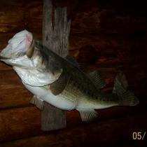 """MOUNTED"" LARGE MOUTH BASS-ON DRIFT WOOD-BEAUTIFUL TAXIDERMY FISH!! Photo"