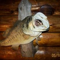 """MOUNTED"" LARGE MOUTH BASS-TAXIDERMY-BEAUTIFUL MOUNTED BASS!! Photo"