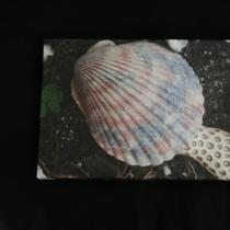 Pink Shell Photo